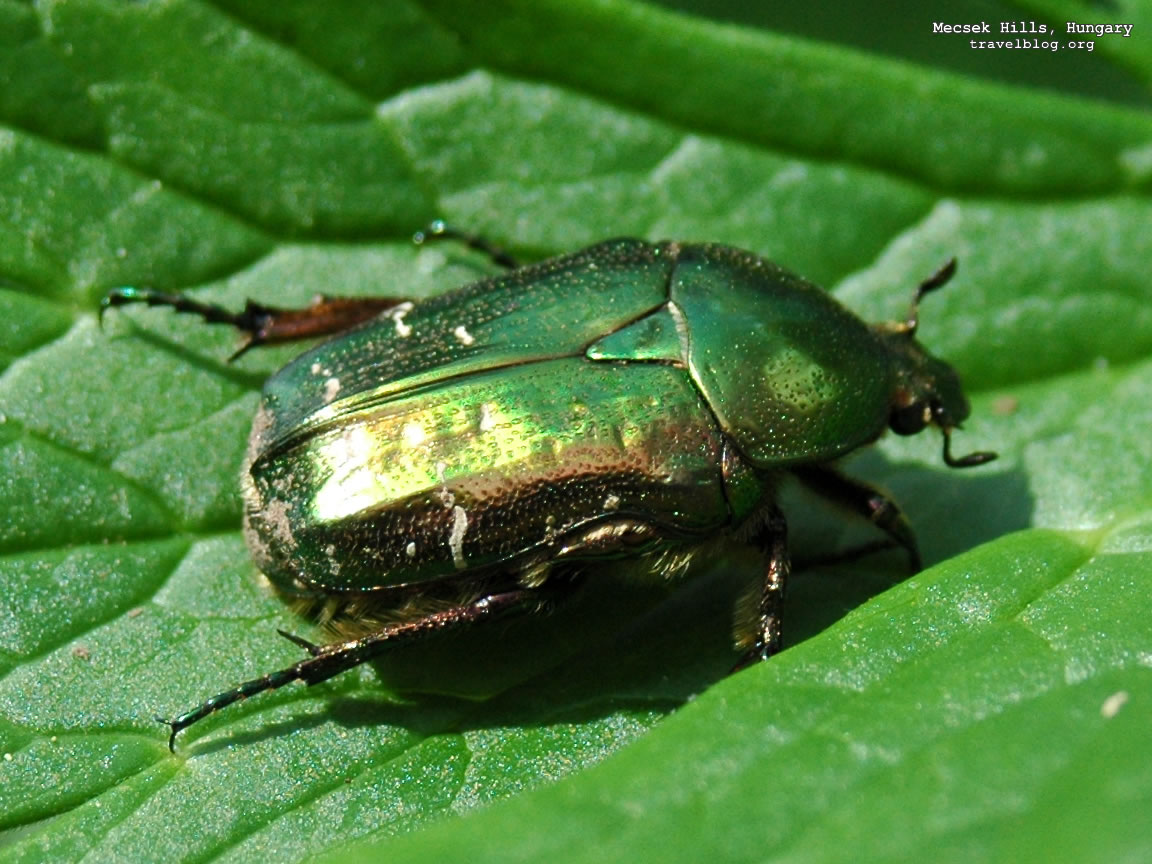 Green Beetles Insects